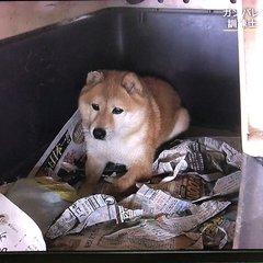 柴犬まめ蔵をしつけた犬の訓練士・中村信哉さんに …